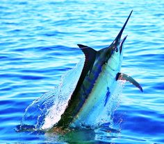 How five skippers pulled off major tourney wins. Sport Fishing, Fishing Lures, Fly Fishing, Fishing Stuff, Cool Fish, Big Fish, Marlin Fishing, Fishing Tournaments, Blue Marlin