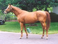 Affirmed chesnut horse (1975 -2001) by Exclusive Native - Won't Tell You by Crafty Admiral. 1978 Triple Crown winner