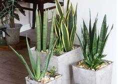 Huonekasvit voivat aiheuttaa allergisia oireita, kuten nuhaa tai ihottumaa. Lue Viherpihan vinkit allergiakotiin sopivista kasveista.