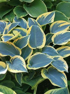 Hosta - First Frost (Funkia, Plantain Lily) Shade Garden Plants, Hosta Plants, Shade Perennials, Flowers Perennials, Planting Flowers, Light Purple Flowers, Lavender Flowers, Plantain Lily, Hosta Varieties