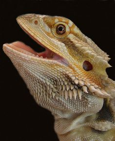 bearded dragons are the best pets to have