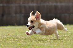 I know it's so late, but. What's the meaning? I hope it is not misunderstanding. Pembroke Welsh Corgi, Dog Cat, Cute Animals, Pets, Corgis, Pretty Animals, Cutest Animals, Cute Funny Animals, Corgi