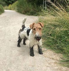 Gosh that was deeper than I thought. Fox Terriers, Wirehaired Fox Terrier, Terrier Breeds, Wire Fox Terrier, Terrier Dogs, Funny Dogs, Cute Dogs, Doggies, Dogs And Puppies
