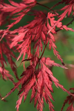 Acer japonicum. Photo by Tim Sandall.