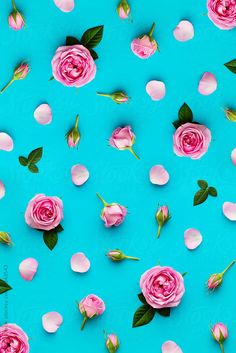 Pink roses on a pink background by Ruth Black - Rose, Background - Stocksy United Ps Wallpaper, Flower Wallpaper, Wallpaper Backgrounds, Black Royalty, Stock Imagery, Invitation Background, Rose Background, Flower Backgrounds, Black Backgrounds
