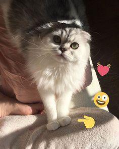❤︎ _ #スコティッシュフォールド #スコ #スコティッシュフォールド折れ耳 #長毛猫 #猫部 #猫 #子猫 #成猫 #ねこ #肉球 #愛猫 #お散歩 #にゃんこ #ねこすたぐらむ #猫好き #scottishfold #cat #catstagram #catlovers #georgia #love #family #japan #tokyo #instagood #photo #instalike #cutecat #ilovecatstoo #Ig_catclub
