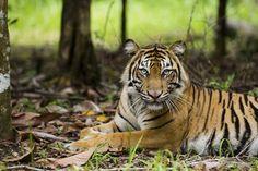 harimau-siliwangi.jpg (JPEG Image, 600×400 pixels)