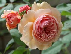 A Shropshire Lad Rose is a climbing rose with a fruity fragrance bred by David Austin. Photo by  kazz17.