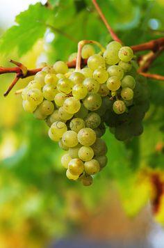 Weißwein Trauben