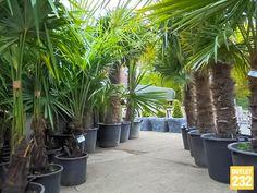 Palmbomen bij Outlet 232 Wintervast, +250 cm, v.a. € 15,-   Af te halen bij: Teak Tuin Outlet232 Weertersteenweg 232, 3680 Maaseik, België  http://www.degoedkoopsteteaktuinmeubelen.com/