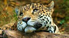 Bildergebnis für leopard