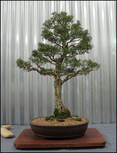 www.cbs.org.au Native_Shows bonsai 2011 13%20-%20large.jpg