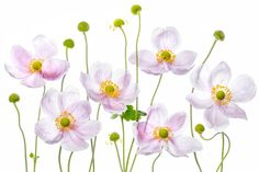 Japanese Anemones Macro photo by MandyDisher http://rarme.com/?F9gZi