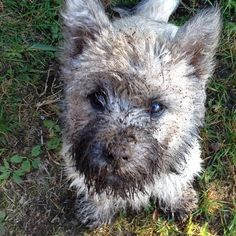 "batjakke: ""it wasn't me it was the other dog! #cairnterrier #cairn #dogs #guilty "" So guilty!"