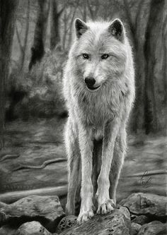 White Wolf PRINT of realistic pencil drawing art, forest background, fine print, wolf portrait, wolf art, animal print, Thubakabra