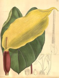 Colocasia antiquorum. Curtis's botanical magazine v.126 [ser.3:v.56] (1900). London ;New York [etc.] :Academic Press [etc.] Biodiversitylibrary. Biodivlibrary. BHL. Biodiversity Heritage Library