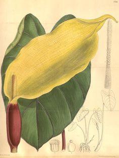 Colocasia antiquorum. Curtis's botanical magazine v.126 [ser.3:v.56] (1900). London ;New York [etc.] :Academic Press [etc.] Biodiversitylibrary. Biodivlibrary. BHL. Biodiversity Heritage Library