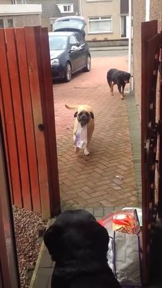 """LiveLeak.com - Awesome dog """"Millie"""" helps carry the shopping from car"""