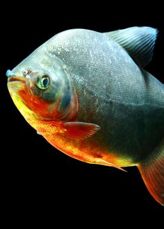49 Pacu Fish Facts: What You Need To Know  #fish #weirdanimals Tropical Fish Aquarium, Fish Aquariums, Weird Fish, Big Fish, Pacu Fish, Facts About Fish, Outdoor Ponds, Goldfish, Fish Tank