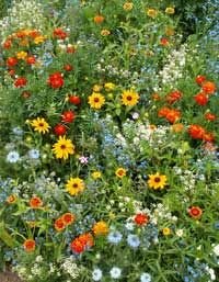 ColorScape Wildflower Seed Mix from Seedland.com.