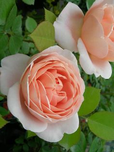 'Ambridge Rose' | Shrub. English Rose Collection. Bred by David C. H. Austin (United Kingdom, 1990)