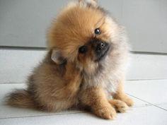 My baby Pomeranian! | Cute | Pinterest | Pomeranians, Babies and ...