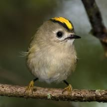 Goldcrest is smaller than the wren. If the pair in my garden manage a little family those baby birds will be so tiny!