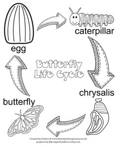 Life Cycle of Butterfly Coloring Page and MANY OTHERS