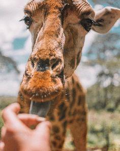 Throwback thursday to Africa and this cutie and wild long necked girl I could learn how to make a long long scarf for.  My wild version of unicorn!   Czy zebra jest biała w czarne pasy czy czarna w białe? Jakiego koloru jest język żyrafy? Które ze zwierząt jest najniebezpieczniejsze na świecie? I dlaczego hipopotam? Jakiego koloru tak naprawdę są flamingi? Jeśli szyja człowieka ma 7 kręgów ile kręgów szyjnych może mieć żyrafa? Który afrykański zwierzak jest tak emocjonalny że potrafi płakać…