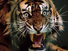 One pissed off tiger