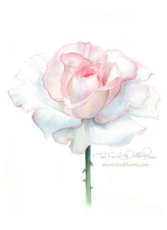 White rose of peace. Watercolor painting by Teri Farrell-Gittins at Shootsandbloom.com(and Linton called :) miracles..