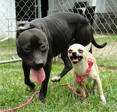 Kip and Fawn, Bonded Chihuahua and Pitbull adoptable pair in Montgomery County, Virginia.