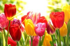 Tulips garden - sunny, park, rays, tulips, garden, beautiful, flowers, spring, sun, colorful, shine, pretty, glow