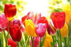 Tulips garden - sunny, park, rays, tulips, garden, beautiful, flowers, spring, sun, colorful, shine, pretty, glow