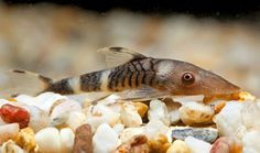 1000+ images about Plecostomus on Pinterest Plecostomus, Catfish and ...