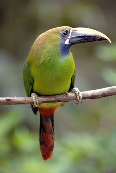 The Emerald Toucanet is native to mountainous regions from Mexico, through Central America, to northern Venezuela and along the Andes as far south as central Bolivia.