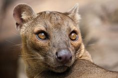 The Fossa: half-cat and half-mongoose.  Could be problematic for lemurs.  Gonna need a tight perimeter around this one.