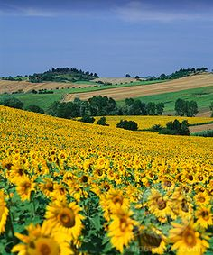 Fields of Italian sunflowers. Another thing I want to see before I die...