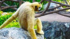 Une gibbon à Chiang Mai #Thailande #Chiang #Mai #singe