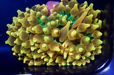 Lemon drop bubble tip anemone