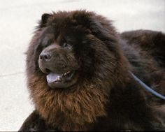"""Minolta Maxxum 9000 Film camera & Quantaray AF Zoom Lens Chow Chow is a type of dog breed originally from China, where it is referred to as Songshi Quan (Pinyin: sōngshī quǎn 鬆獅犬), which means """"puffy-lion dog"""". Black Chow Chow, Chow Chow Dogs, Chow Puppies, Cute Small Animals, Cute Baby Animals, Lion Dog, Dog Cat, Tibetan Dog, Chinese Dog"""