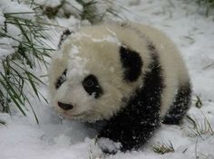 Panda covered in snow.