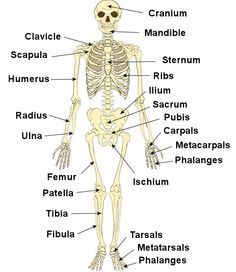 Human Skeleton: Femur, Patella, Tibia, Fibula, Tarsals, Metatarsals, Phalanges, Humerus, Radius, Ulna, Carpals, Metacarpals, Phalanges, Temporal Bone, Parietal Bone, Occipital Bone, Frontal Bone, Mandible, Scapula, Clavicle, Sternum, Vertebra, Ribs, Os coxae (Ilium, Ischium, Pubis)
