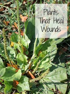 Plants That Heal Wounds. Natural Remedies, Healing Herbs