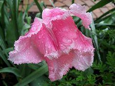 cultivar pink fringed tulip