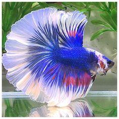 fancy blue butterfly rosetail