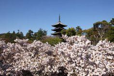 仁和寺 Cherry blossoms SAKURA in Kyoto JAPAN