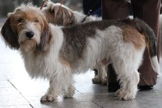 Grand Basset Griffon Vendéen - 30 Rare and Exotic Dog Breeds You've Never Heard Of And Need To Know About Immediately