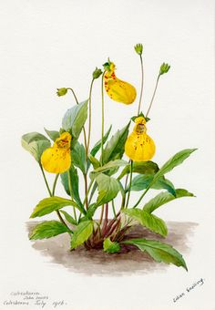 Calceolaria 'John Innes' -- Lilian Snelling -- Artists -- RHS Prints