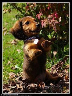 Daschund puppy.